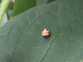 ナナホシテントウ蛹